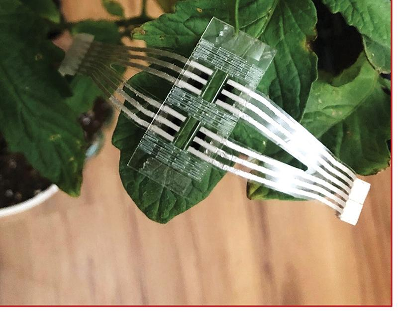 The wearable sensor placed on a tomato plant